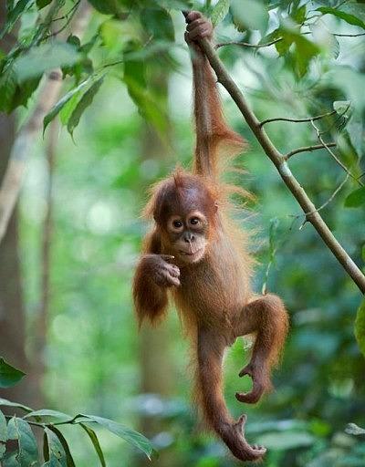 Фото маленького орангутанга, сделанное Сьюзи Эстерхаз